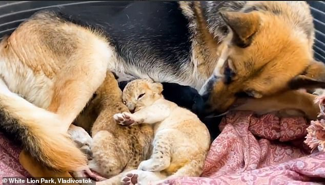 There were no such problems with the park's faithful German Shepherd, which had recently given birth to one puppy