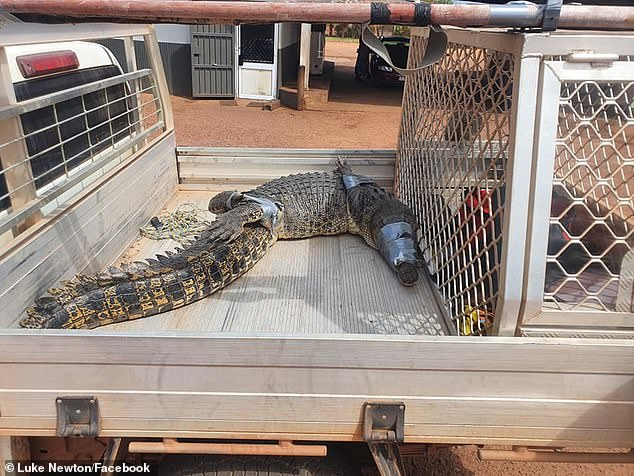 It took the crocodile catcher and three eager volunteers about an hour and a half to ensnare the reptile and wind tape around its mouth and claws for protection (pictured)