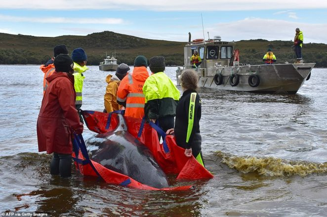Rescue crews (pictured) said fighting to save the dying whales and hearing their anguished cries was 'emotional'