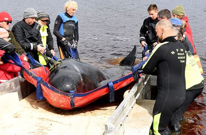 Crews (pictured) have been trialling methods to remove the dead whales and are likely to tow carcasses by boat out to sea