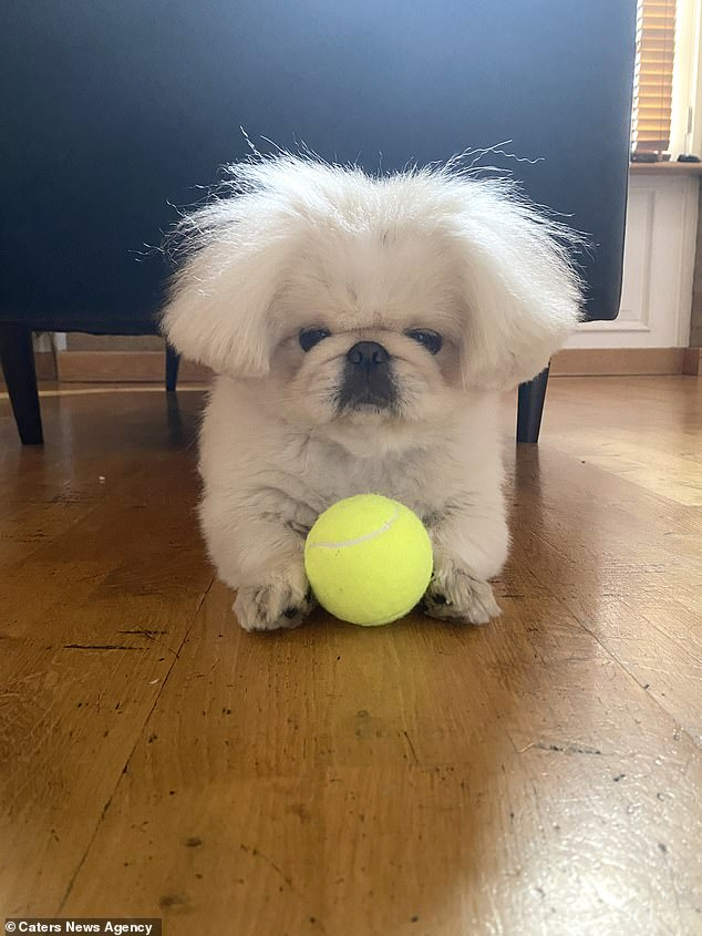 Playful Eric, pictured with his ball, leads a pampered lifestyle with his owners Giulia Luciano, 37, and Richard Hanrahan, 36, catering to his every need