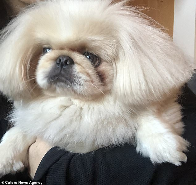 The pekingese loves to cuddle and is taken to the groomer every four weeks to ensure his bob stays pristine