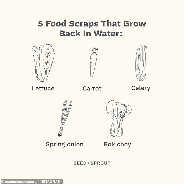 The same method can also be used to restore lettuce, celery, spring onion and bok choy