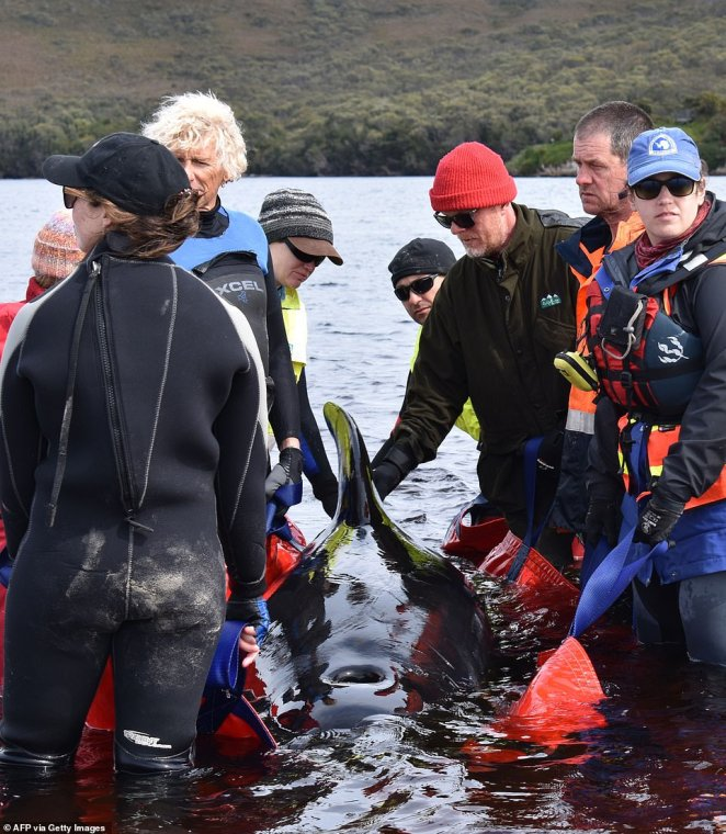 A group of rescuers in the water work to save a whale after it was stranded on a sand bar in Macquarie Harbour on Thursday