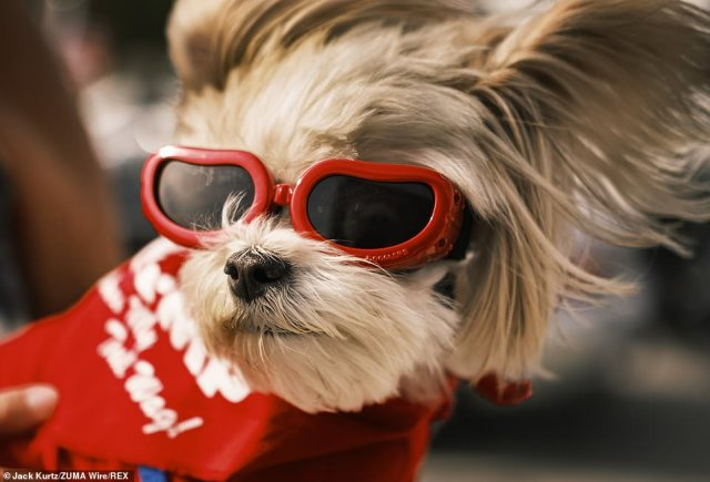 People even brought their dogs out for the motorcade. This pooch was wearing red 'doggles' and a shirt during the event