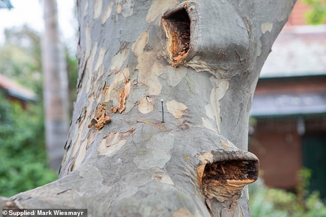 He said the nails had also damaged the council's 70-year-old London plane tree (pictured)
