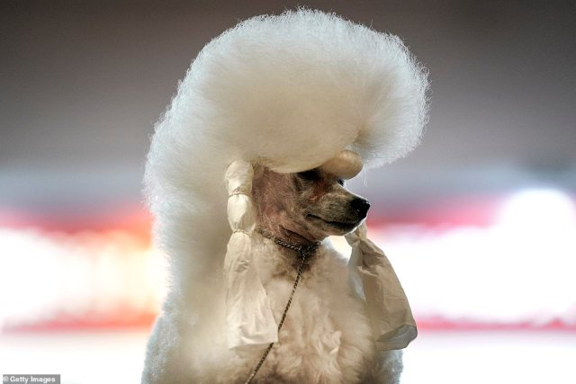 A poodle is pictured at the National General Kennel Club branch Competition on September 27 in Wuhan, Hubei province, China. As there have been no recorded cases of local infection in Wuhan since May, life for residents is returning to normal