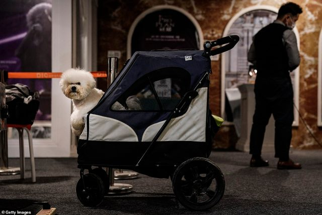 A dog sits in a stroller during the National General Kennel Club branch Competition on September 27.The Chinese National General Kennel Club, which hosts the most and largest dog grooming shows in the country, held a finalist competition celebrating ¿the post-coronavirus Wuhan¿ in the central Chinese city over the weekend
