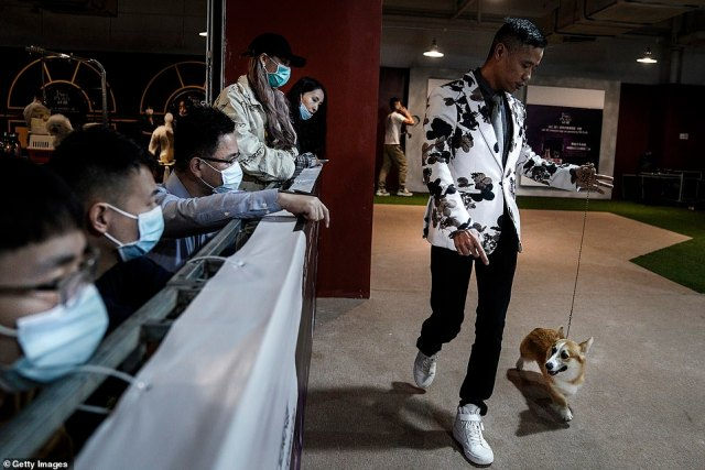 Pictures show the dogs posing and trotting in front of the judges while mask-donning owners are seen carefully trimming their pets¿ hair, preparing them for the big moment under the limelight.