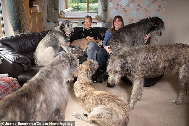 The dogs, who are on average the tallest breed in the world, have their own lounge but will sneak in Claire's living-room for a cuddle
