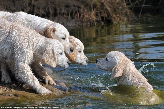 Alice van Kempen photographed her litter of Golden Retriever puppies in 'Splash'. She said: 'While playing with each other one of the puppies fell into the water. The others looked surprised at the splashing sister'