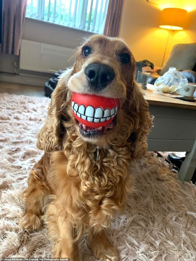 Lianne Richards, from the UK, photographed her pet Cocker Spaniel at home and called it 'Buddy's new teeth.' She said: 'Our lovable and squeaky ball obsessed cocker spaniel Buddy who we rehomed 18 months ago'