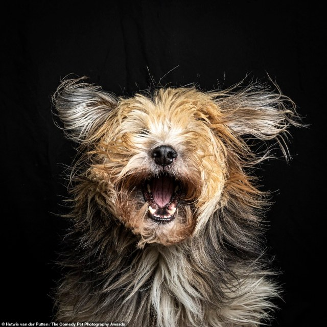 'Jumping Hair,' by Hetwie van des Putten, from The Netherlands, show her pet Bruc. She said: 'Bruc was found as a puppy on the street in Spain with his mother and sister. Now he is my canine friend and model and goes where we go. Catching cookies in my home studio'