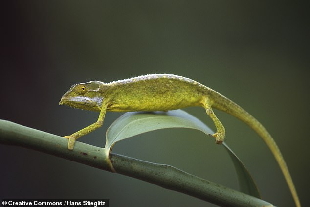 The team found that 79 per cent of the reptile species being sold are not subject to regulations under the Convention on International Trade in Endangered Species. Pictured, aSeychelles tiger chameleon, one of the endangered species sold on the online pet market