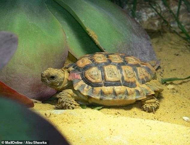 Experts from China and Thailand found that around 36 per cent of all known reptile species are sold as pets — including many endangered and range-restricted species. These include the endangered Seychelles tiger chameleon and speckled cape tortoise, pictured