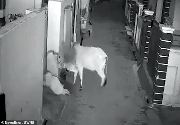 A brave grandson was trampled after trying to save his 70-year-old gran, who had been headbutted by the animal, CCTV footage fromjust before 6am on September 27 shows