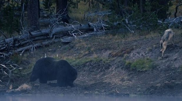 The grizzly bear approaches the wolf with its brutal proximity, which hides it in the dirt to hide the scent from other predators.