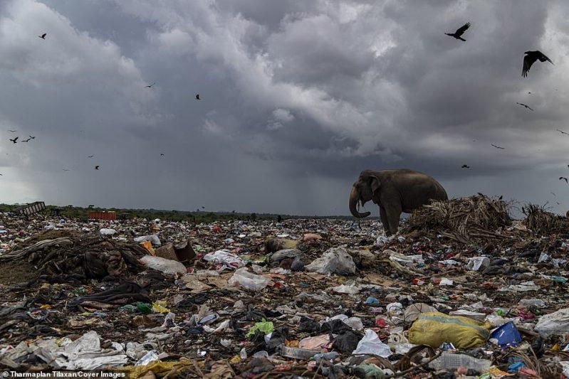 Um elefante olha para o enorme depósito de lixo aberto em busca de comida. O chão está cheio de sacos plásticos e resíduos perigosos
