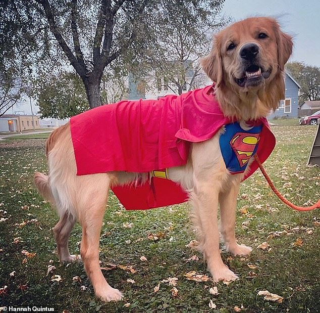 Superhero dog Jax, 2, has been with his owner Hannah since he was seven weeks old and she says he 'loves being detained and has to constantly touch someone'.