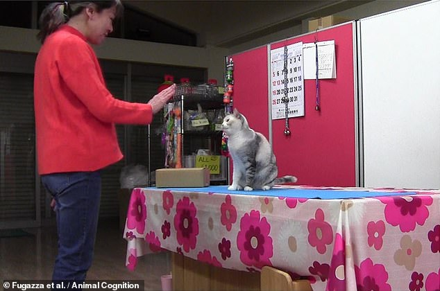 Some highly intelligent cats are able to recognize and mimic human actions on command - even better than some dogs - according to a study.  In the photo, Ebisu the cat watches his owner, Fumi Higaki, in preparation to repeat the latter's action