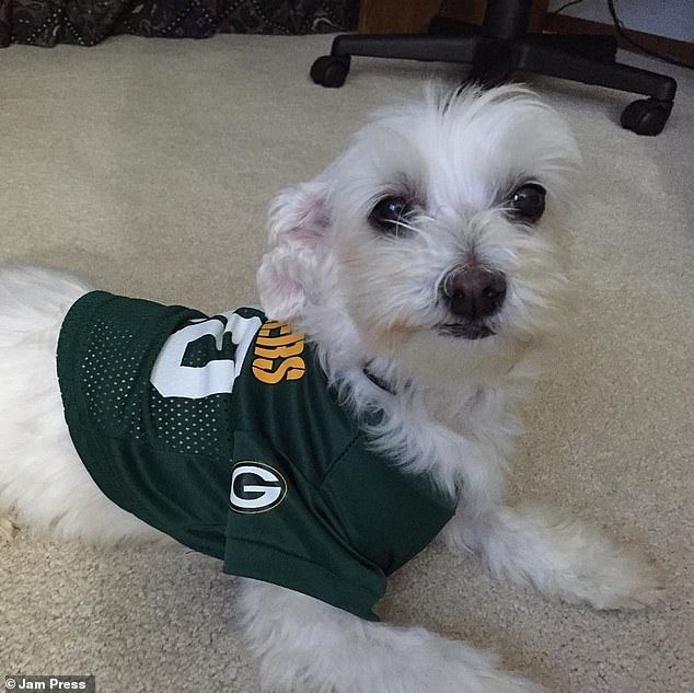 The puppy in his sports jersey.  Loving Lamb Chop has an 'incredible joy for life,' says Christin.She won $ 1,000 (£ 771) to donate to the charity of her and Christin's choice and a supply of a year of Pedigree dog food