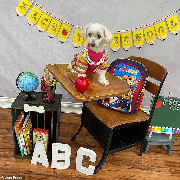 Adorable Lamp Chop in her back to school photoshoot.  The puppy suffered from crippling anxiety after being rescued from the mill