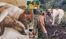 Is this the real life Fox and the Hound? Rescue cub is 'inseparable' from her Bulldog friend as they snuggle and play together just like in the Disney film