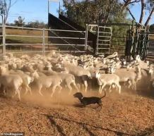 WATCH: Miniature Dachshund Frankie Rounds Up his Flock in Short Order