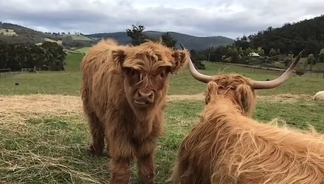A nearby calf called Bianca, watches as the older animal gets the relaxing treatment