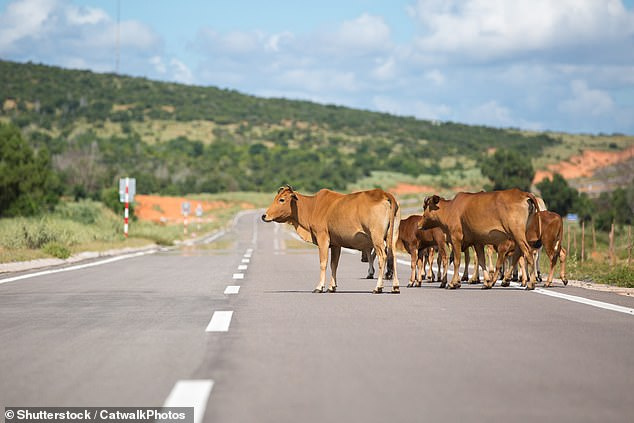 The teenager's car left the road when he collided with the cow which is though to have been killed as well (stock image)