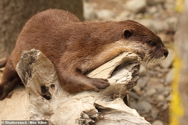 Wildlife trap cameras and photographers captured footage of Cape clawless otters feasting on parts of the 23 inch long shark species, then discarding the rest. Stock image