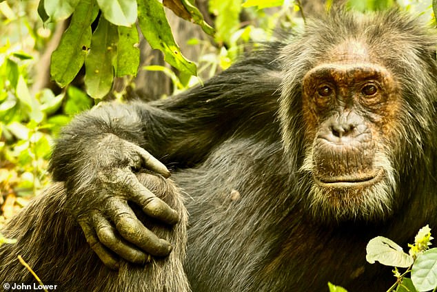 Big Brown, an older male in the group, looking relaxed. Researchers looked only at male chimpanzees because they show stronger social bonds and have more frequent social interactions than female chimps