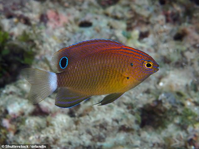 Researchers raised damselfish (pictured) in microplastic polluted waters then placed them on live or dead-degraded coral patches. They found those reared on microplastics or released into dead corals were bolder, more active, and had lower survival than controls