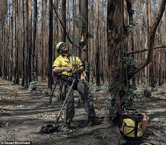 Mr Wild setting up his climbing equipment to reach an injured koala nestled at the top of a fire-damaged tree