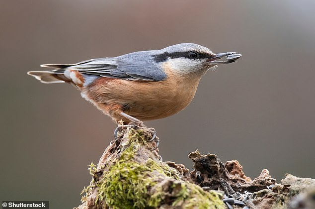 Fear of the virus when outside also mirrors bird having to navigate its predators. Pictured, a Eurasian nuthatch or wood nuthatch (Sitta europaea)