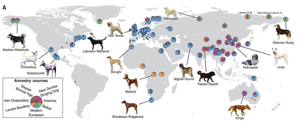 This graphic shows where some modern-day dogs get their genetics from. For example, the Australian dingo is a close descendent of the New Guinea Singing Dog. Meanwhile, the chihuahua and Irish terrier have traditional European ancestry