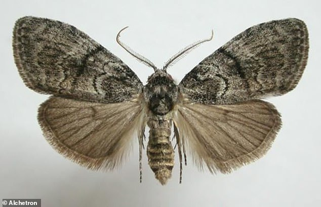 Each gum-leaf skeletonizer molts up to 13 times before spinning a cocoon and turning into a moth