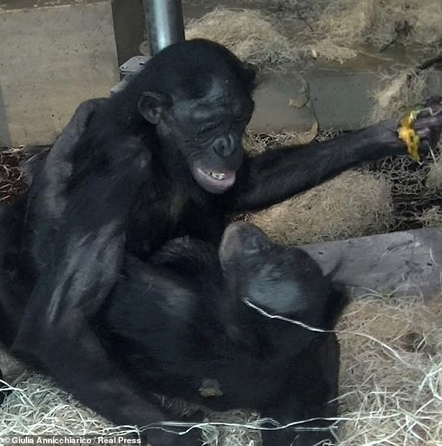 To help forge social bonds with other females, bisexual female bonobos make lengthy eye contact when engaging in sexual acts, a study has reported