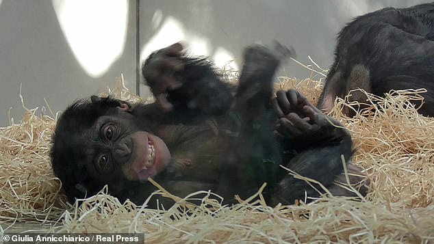 They found that the less two female bonobos know each other, the more they will try to make eye contact during sex — shining a light on how these primates, pictured, bond