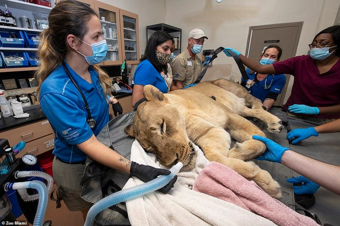 Kashifa, a 10-year-old lioness, was well sedated before her tooth was extracted.