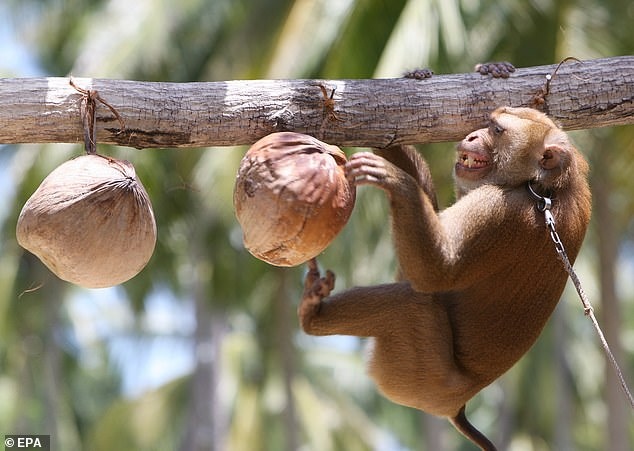 Forced monkey labor sees the animals snatched from their mothers, chained and forced to harvest up to 1,000 coconuts a day