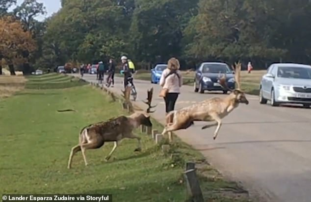 Sensing defeat, one of the deer decides to flee, but his path is blocked when he runs straight into the road and smashes into the side of a car