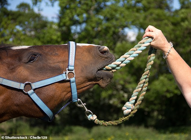 The main aim of this study was to investigate, from the horse's perspective, whether there is a bond between the horse and its owner. Stock image