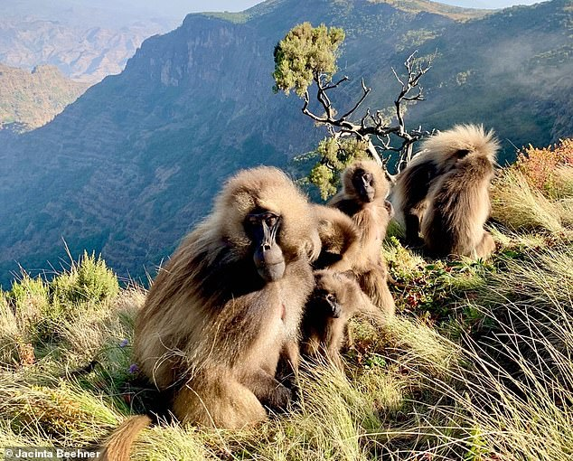 For most mammals — including us — the timing of sexual maturity is dependent on various factors, such as food availability — but geladas seem to have some control