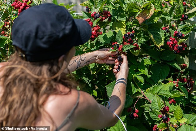 The Morrison Government is offering Kiwis $2,000 for a stint of farm work in regional Australia (stock image of a young woman picking blackberries)