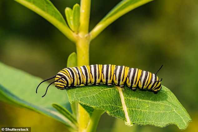 Pictured,Danaus plexippus as a caterpillar.This species is a rare migrant to the British Isles.The first record of this species in the British Isles, by a schoolboy, was in September 1876 in Neath in south Wales,according to ukbutterflies.co.uk