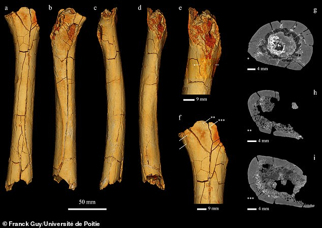 Aude Bergeret-Medina, a researcher at Poitiers, identified an unlabeled bone as Tumai's femur. The thigh bone isn't straight but curved, which Bergeret-Medina said is more typical of an ape