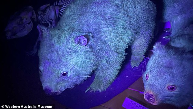 Wombats are just one of the species at the Western Australian Museum found to be bioflourescent under UV light