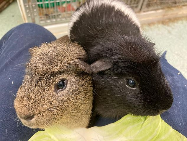 Martinez and Targett - named after the Aston Villa players - were two of around 60 guinea pigs removed from a single property by RSPCA officers