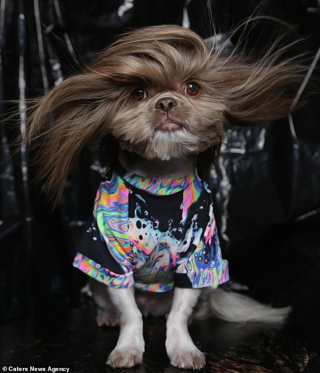 Meet the sassy Shih Tzu with a luscious mane that leaves humans drooling